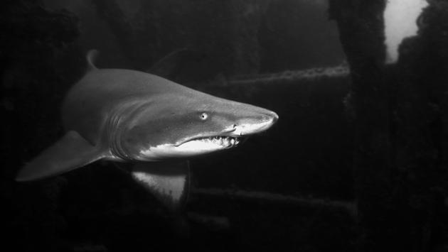A sand tiger shark swims inside a shipwreck off of North Carolina
