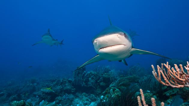 A school of reef sharks swim off of Roatan, Honduras