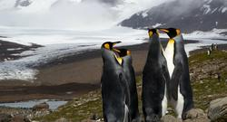 King Penguins, South Georgia and South Sandwich Islands