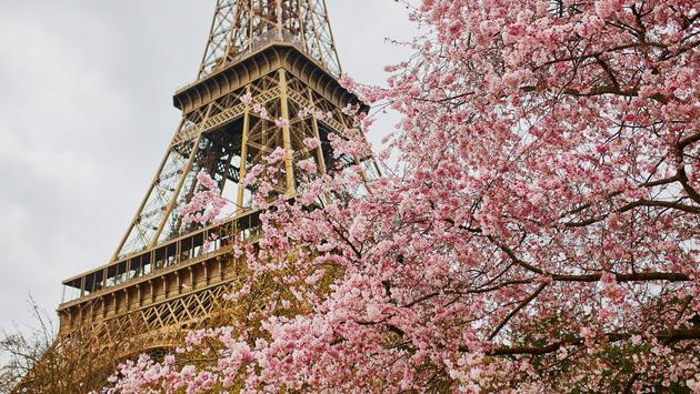 Cherry blossoms bloom in front of the Eiffel Tower.