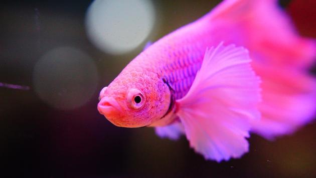 Pink betta fish