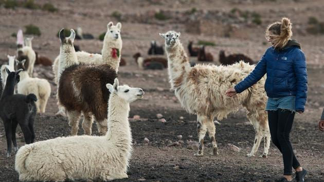 Tourist encountering llamas in Chile.