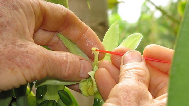 Hawaiian Vanilla Company employee pollinating vanilla plants by hand
