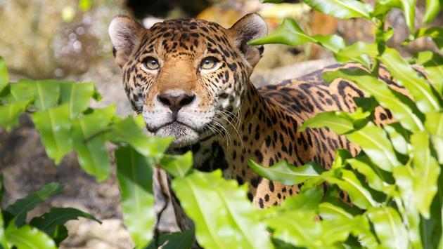 Jaguar at Xcaret