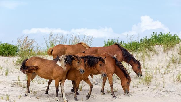 Wild ponies on the beach in Assateague Island, Maryland