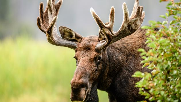Bull, moose, Colorado.