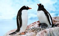 Penguins of Antarctica, Hurtigruten