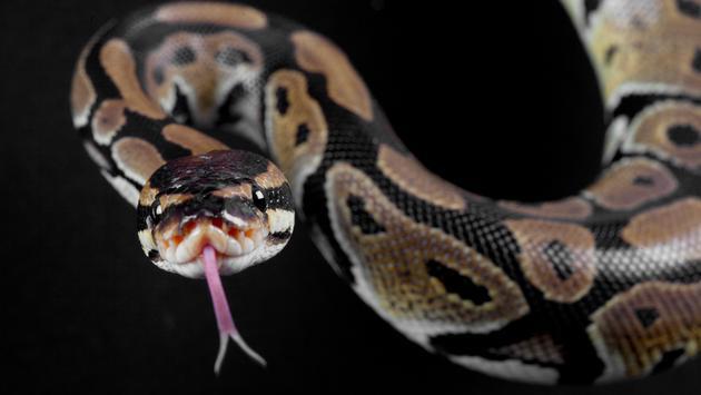 python, snake