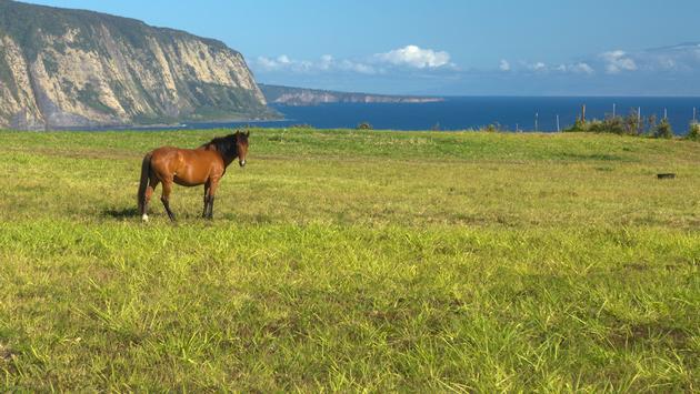 A horse overlooks Waipio Valley on the Big Island of Hawaii.