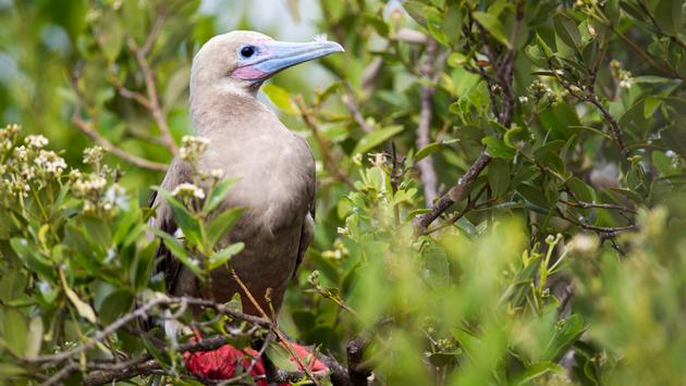 Redfooted Booby, Little Cayman