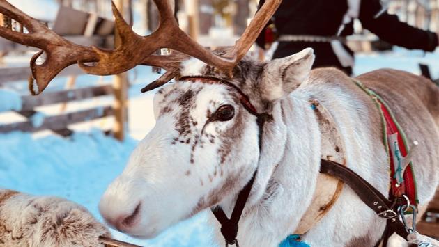 Reindeer in Levi, Finland.
