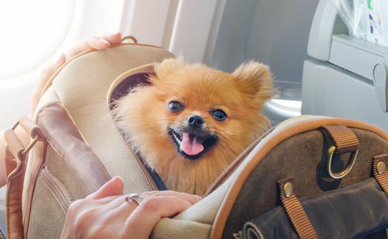 A Pomeranian inside of a travel bag aboard an airplane