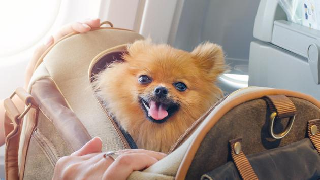 A Pomeranian inside of a travel bag aboard an airplane