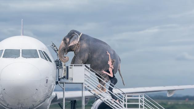 Elephant boarding a plane