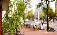 Cannabis plant outside of an Amsterdam coffee house