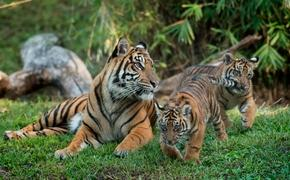 The first Sumatran tiger cubs to be born at Disney's Animal Kingdom, Anala and Jeda