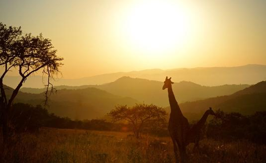 View of giraffes during sunset