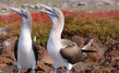 Mating Dance of the Blue Footed Boobie on the North Seymour Island, Galapagos