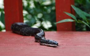 black, racer, snake