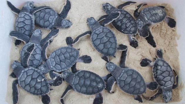 JW Marriott and Marriott Cancun - sea turtles program