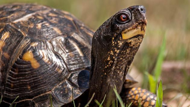 turtle, box turtle, reptile