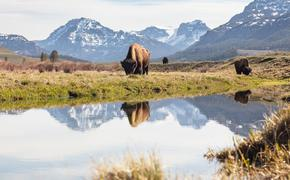Bull bison grazing in Yellowstone's Lamar Valley.