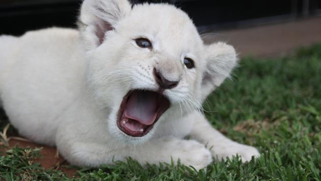 An endangered white lion cub in Africa.