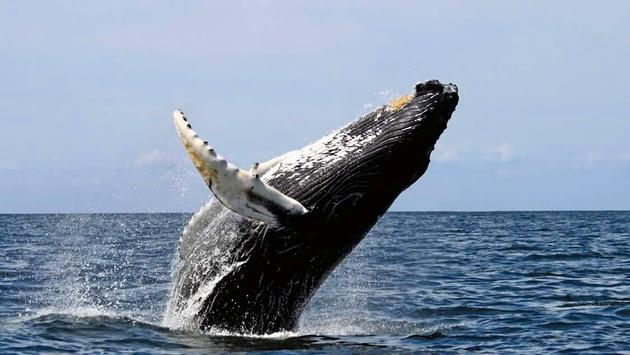 Prime Time in Panama for whale watching!