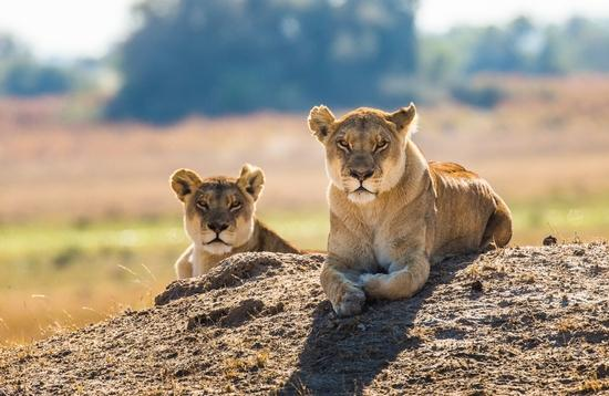 Two lionesses are lying on the hill.