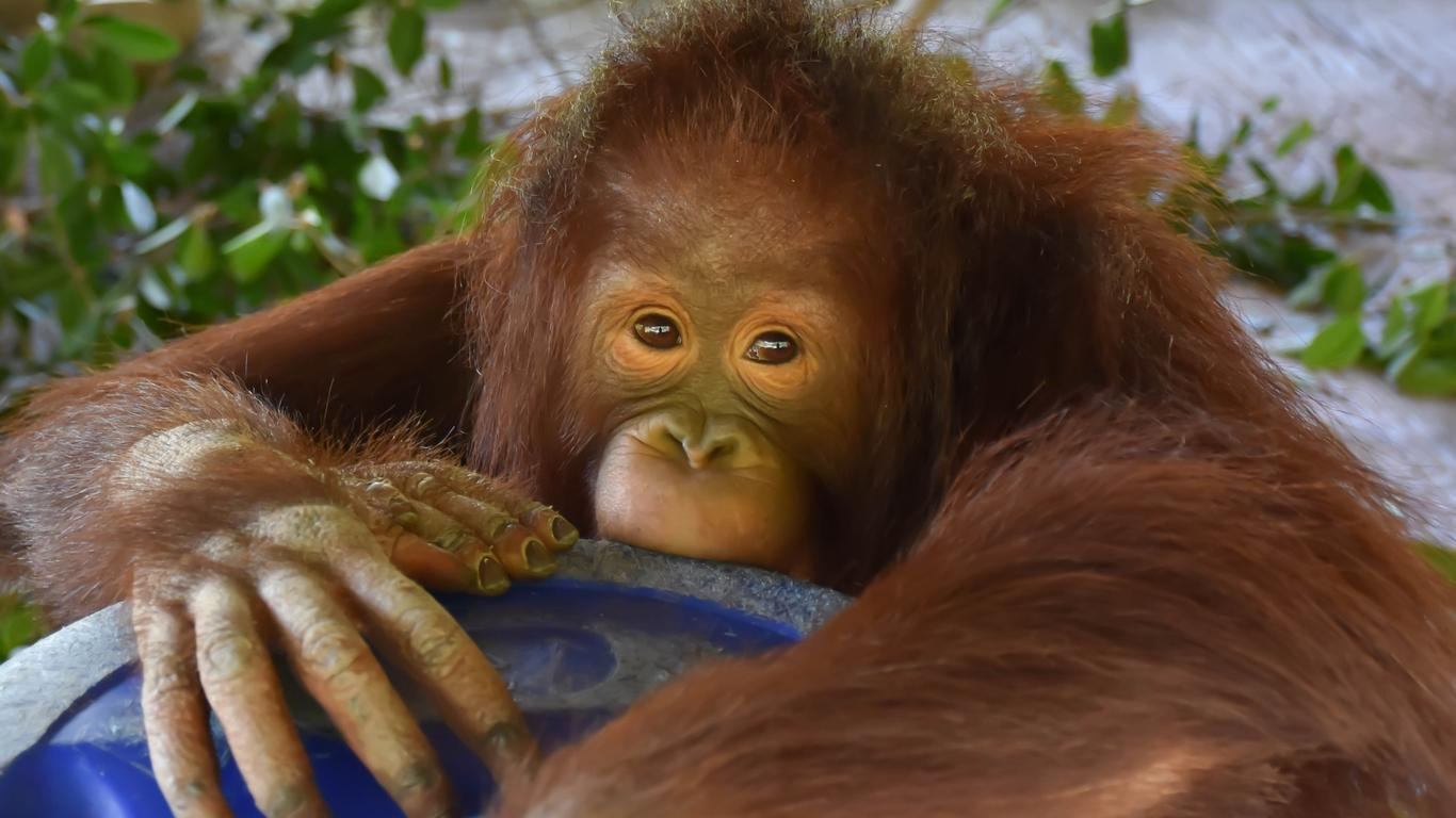 Bali Officials Stopped Tourist From Smuggling Orangutan Through Airport