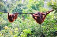 'Mother, baby and child orangutans from Sabah in Malaysian Borneo' (photo courtesy of shalamov / iStock / Getty Images Plus)