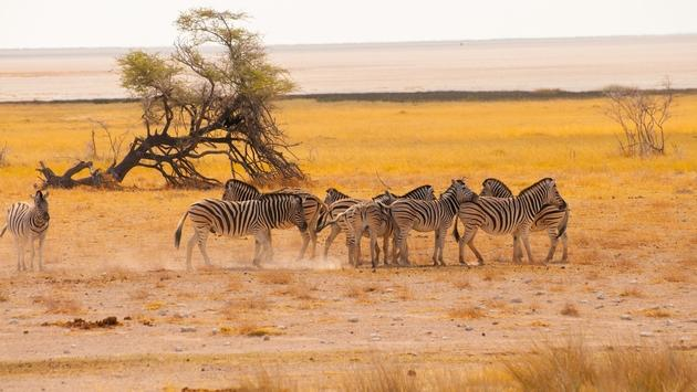 Zebras viewed during a Namibia safari