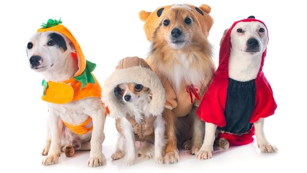 Dogs in Halloween costumes.