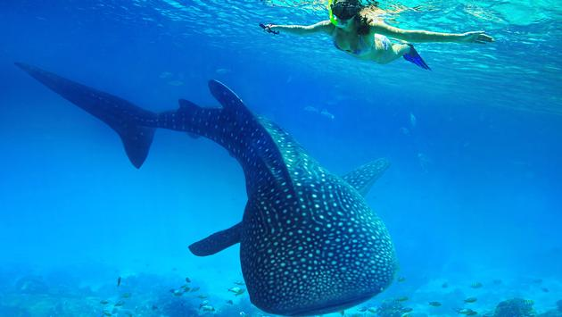 Whale shark experience, Philippines