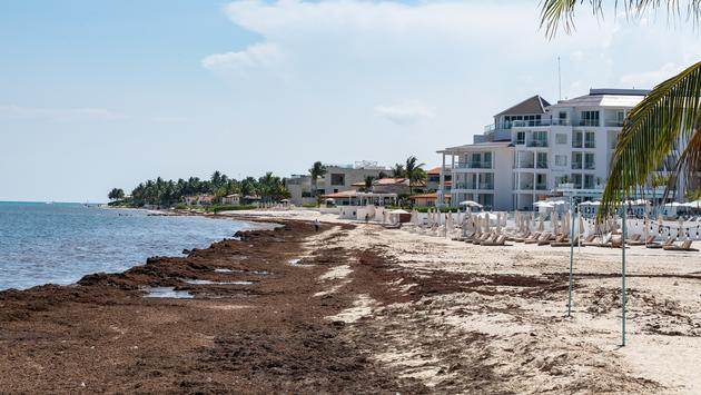 Experts Predicting Sargassum Influx on Mexican Caribbean Beaches in
