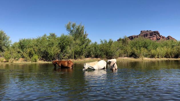 Horses in Scottsdale