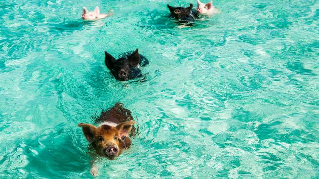 pigs, bahamas, water, ocean, swimming pigs