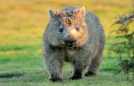 wombat, North Eastern Tasmania, Australia