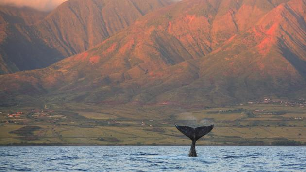 A humpback whale off the shores of Maui.