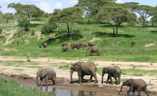Wild Elephant in African Botswana Savannah