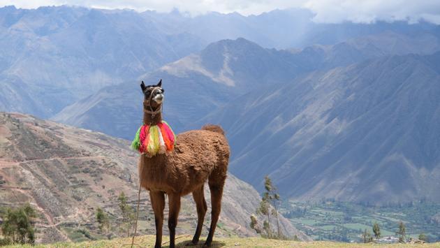 Llama in Ollantaytambo, Peru