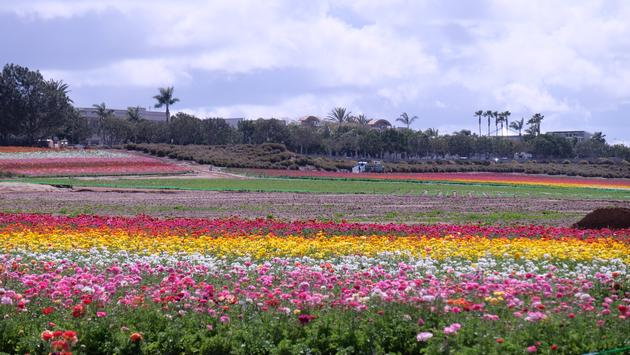 The Flower Fields, Carlsbad, California