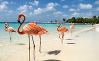 Flamingos on a beach in Aruba.