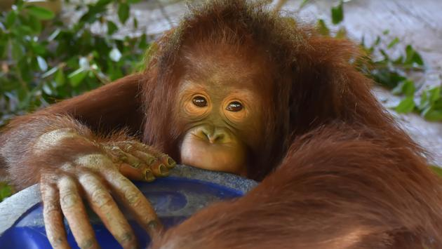 baby, orangutan, monkey, primate