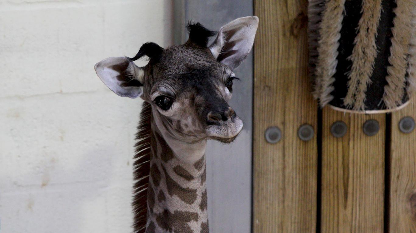 Disney's Animal Kingdom Welcomes Its Newest Member – A Baby Giraffe