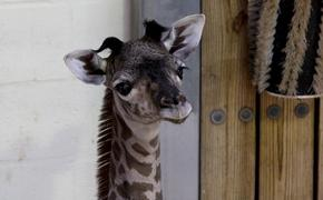 A female Masai giraffe was born Sept. 22, 2020, at Disney's Animal Kingdom at Walt Disney World Resort