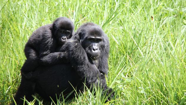 A gorilla trek with Classic Escapes