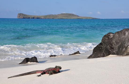 Marine iguana on the beach in the Galapagos Islands.