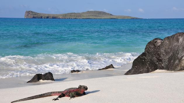 Marine iguana on the beach in the Galapagos Islands.