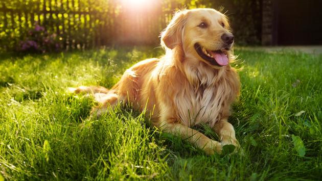dog, golden retriever, travel